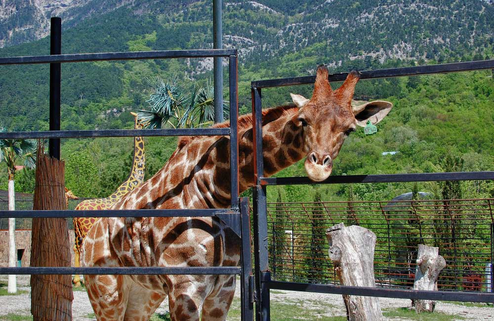 """Жираф, высовывающий голову из вольера (зоопарк """"Тайган"""" в Крыму)"""